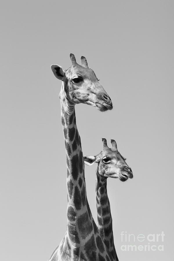 Decorate Photograph - Giraffe - African Wildlife Background - by Stacey Ann Alberts