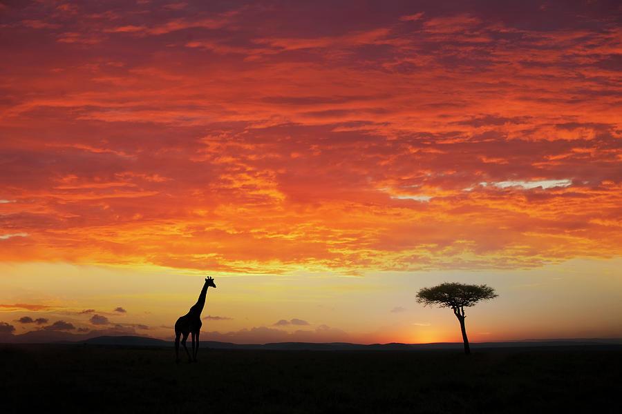 Giraffe And Acacia Tree At Sunset Photograph by Buena Vista Images