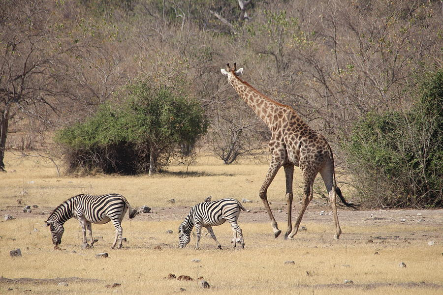 Giraffe and Zebras by Pat Moore