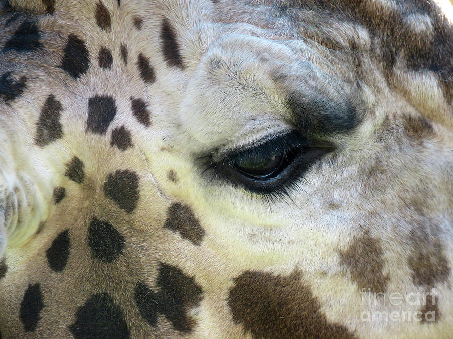 Giraffe Close-up by Mary Mikawoz