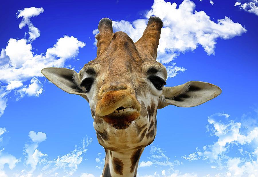 Giraffe Photograph by David Crespo