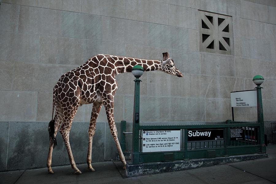Giraffe Entering Subway Photograph by Thomas Jackson