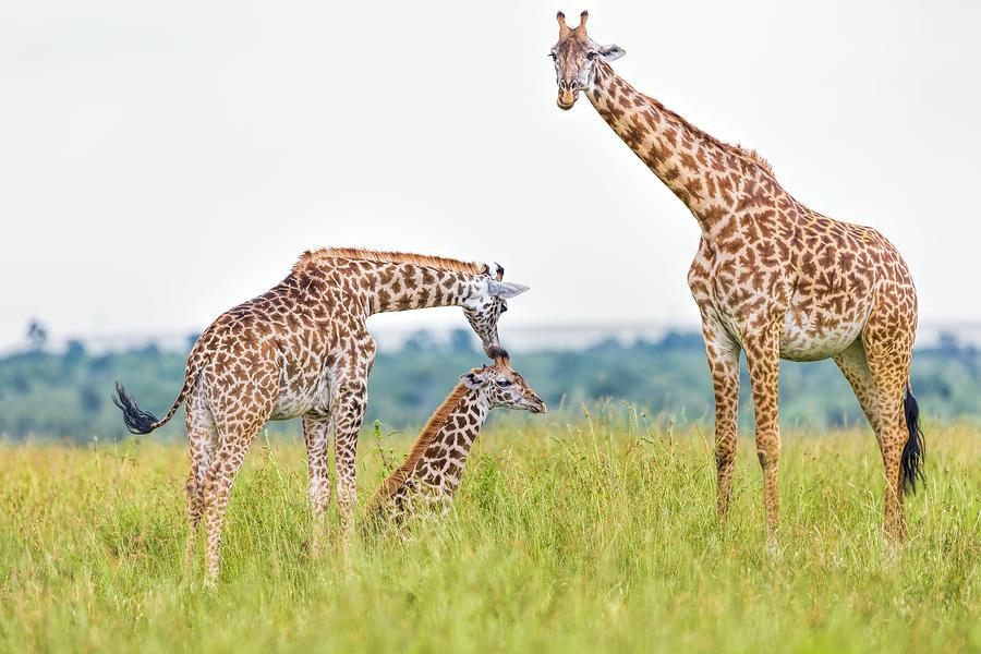 Giraffe Family Photograph by 1001slide