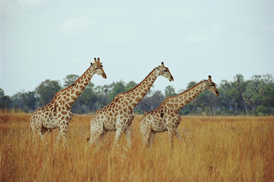 Giraffe Herd, Botswana Photograph by Tim Graham