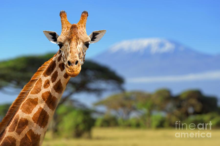 Fur Photograph - Giraffe In Front Of Kilimanjaro by Volodymyr Burdiak