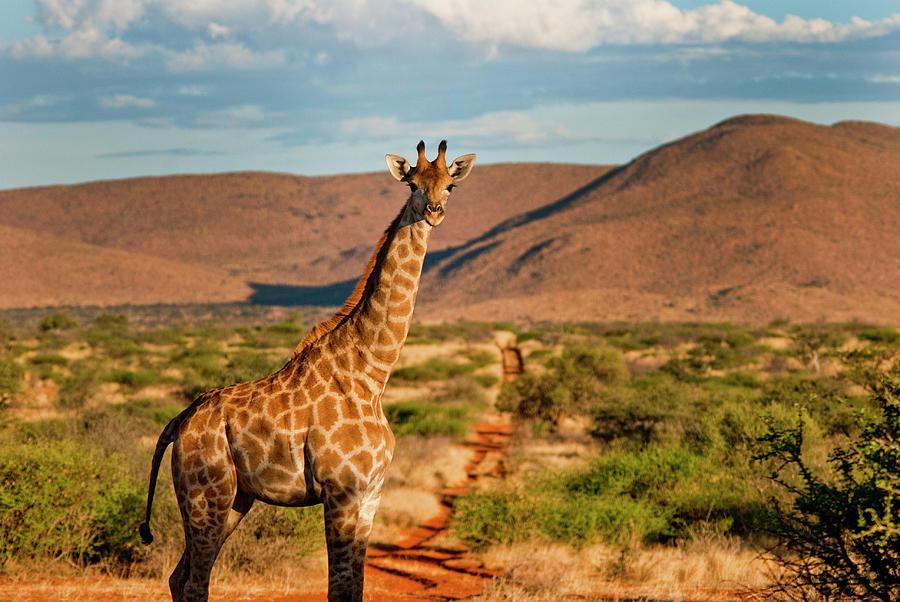 Giraffe In The Kalahari Photograph by Dominic Cram