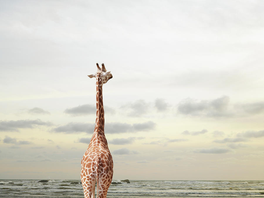 Giraffe Looking Out To Sea Photograph by Richard Newstead