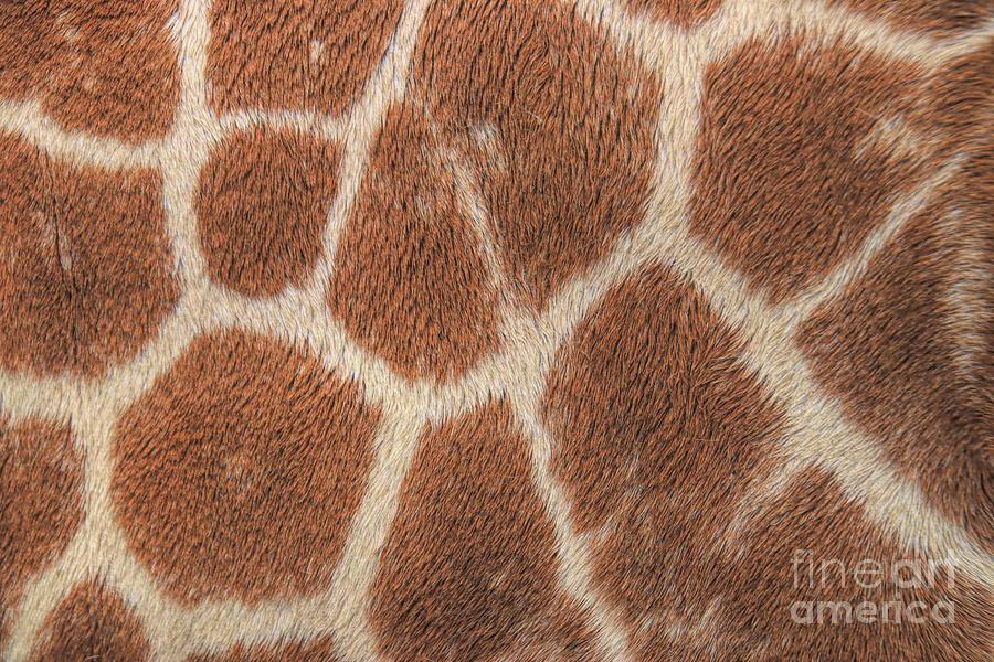 Giraffe Patterns by Karen Silvestri