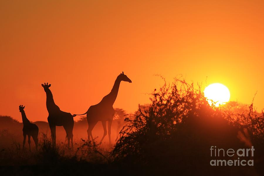 Flare Photograph - Giraffe Silhouette - African Wildlife by Stacey Ann Alberts
