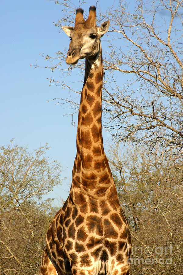 Big Photograph - Giraffe Standing In The Trees Kruger by Paul Banton