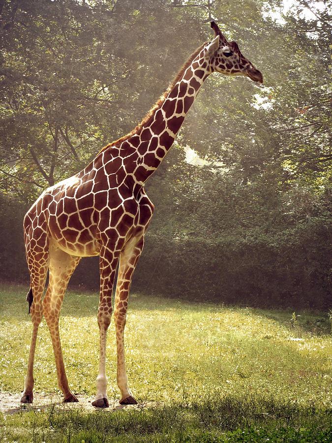 Giraffe Photograph by Tas10