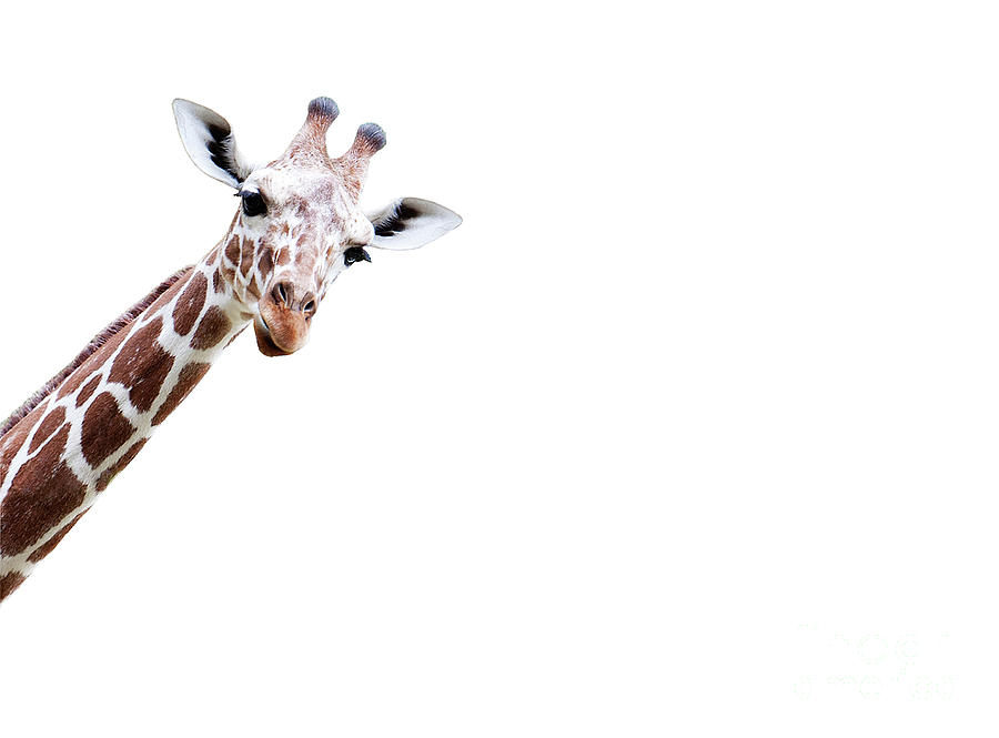 Blick Photograph - I Stand In The Thicket, A Giraffes Head Comes Around The Corner And Stares At Me by Andrea Grewe-Hagemann