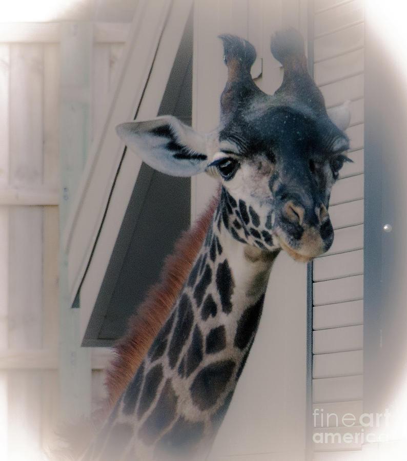 Giraffe by William Norton