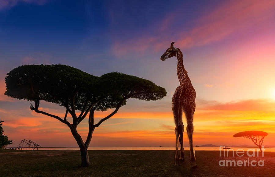 Game Photograph - Giraffes In The Savannah At Sunset by Weerasak Saeku