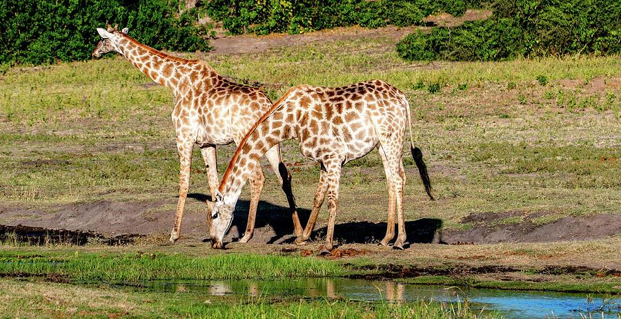 Giraffes of Chobe by Marcy Wielfaert