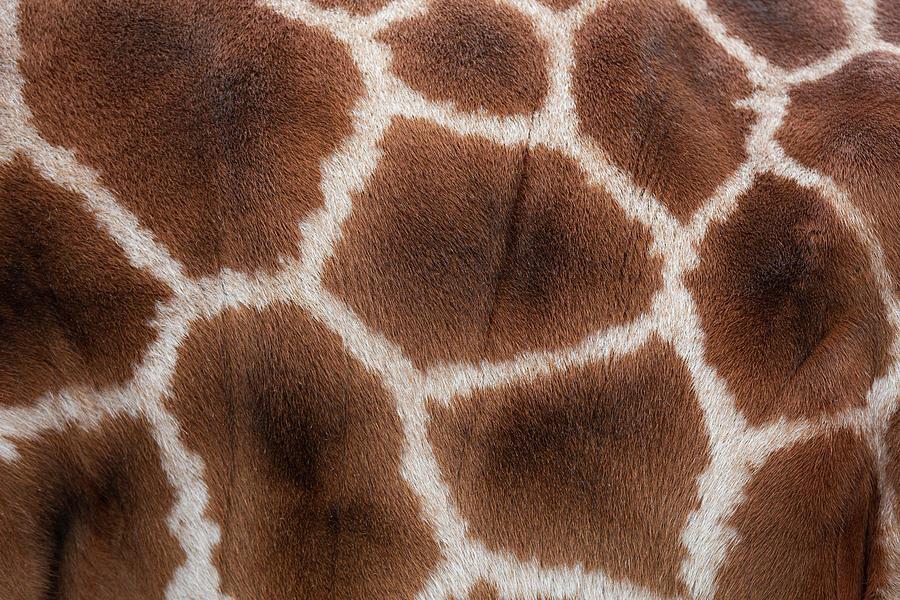 Giraffes Skin Texture Photograph by Andrew Dernie