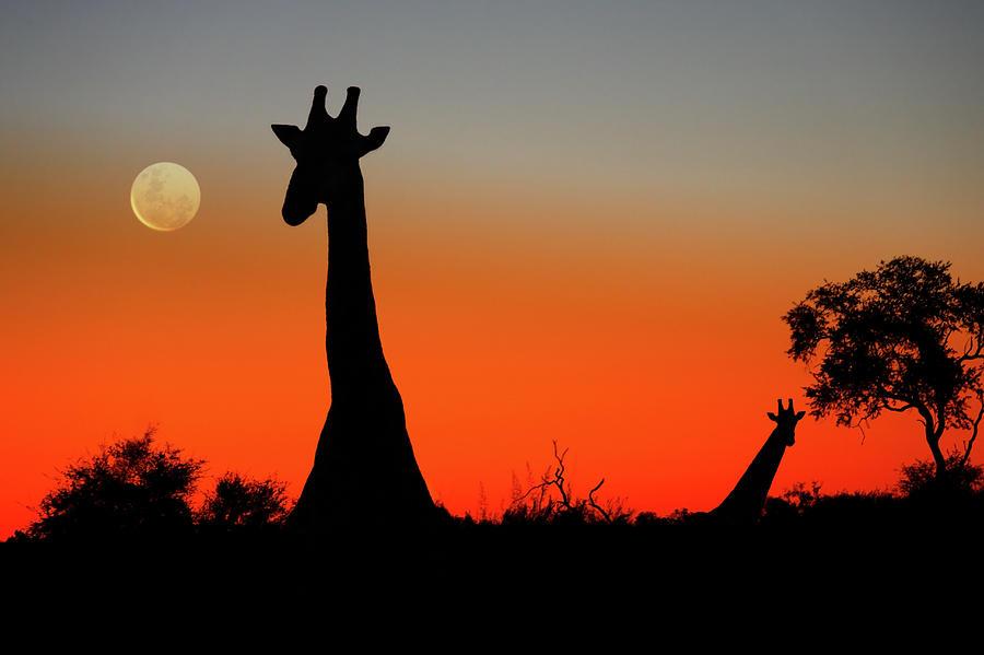 Botswana Photograph - Giraffes by Steve Allen