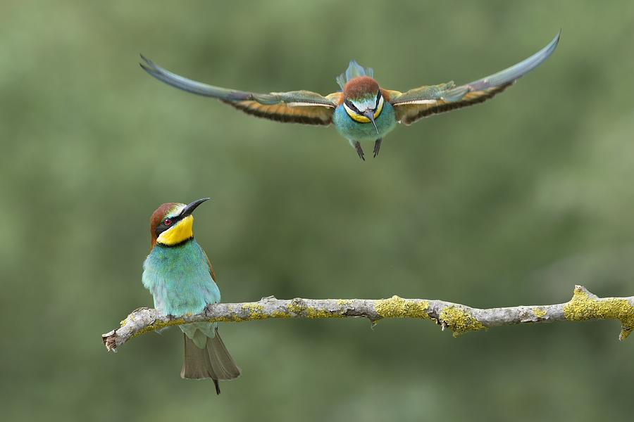 Bee Eater Photograph - Give Me A Little Room Please by Marco Pozzi