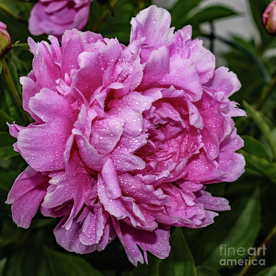 Glamour Gal Sarah Bernhardt Double Peony by Cindy Treger