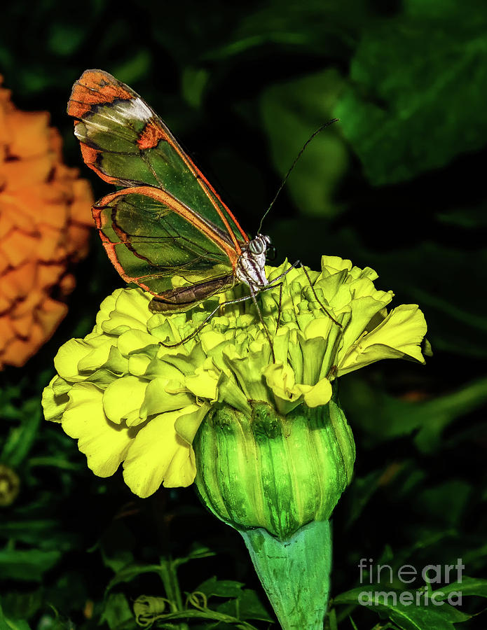 Glasswing Butterfly by Nick Zelinsky