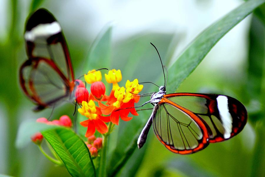 Glasswinged Butterfly On A Milkweed Photograph by Pallab Seth