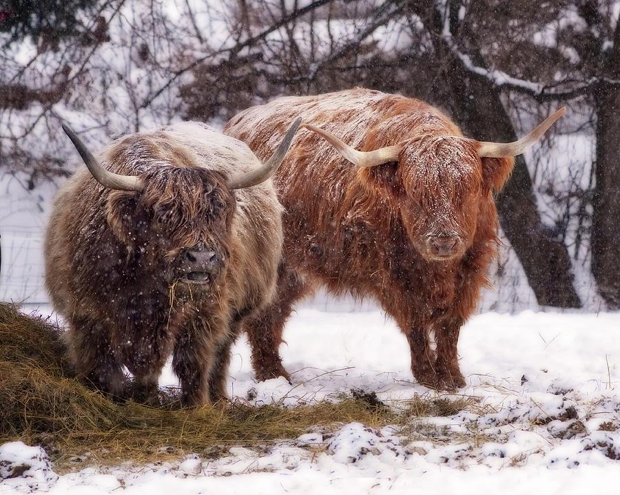 Glazed Highlands - Snow coated Scottish Highland Cows ... - photo#9