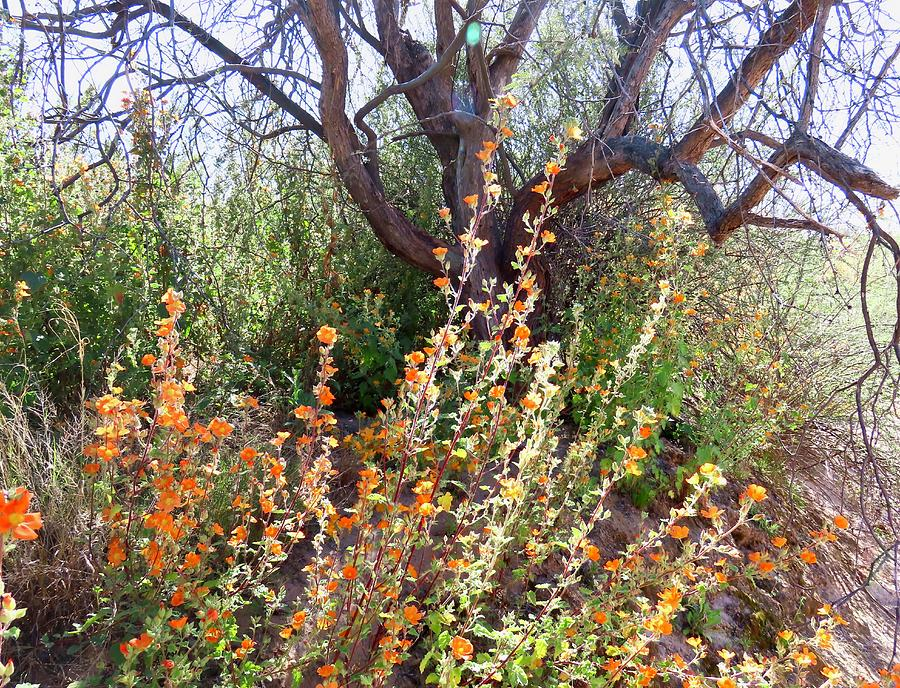 Globemallows and Mesquite by Judy Kennedy