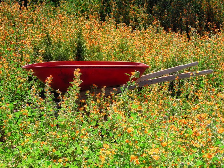 Globemallows and Wheelbarrow by Judy Kennedy