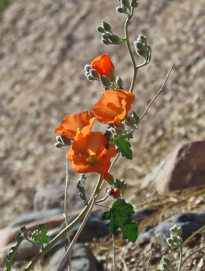 Globemallows in the Desert Sand by Judy Kennedy