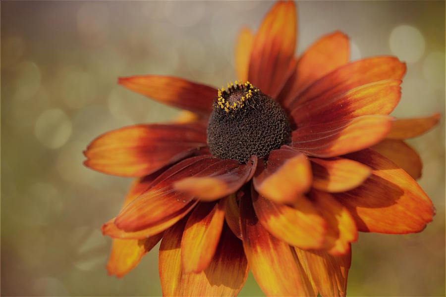 Gloriosa Daisy by Jacqui Boonstra