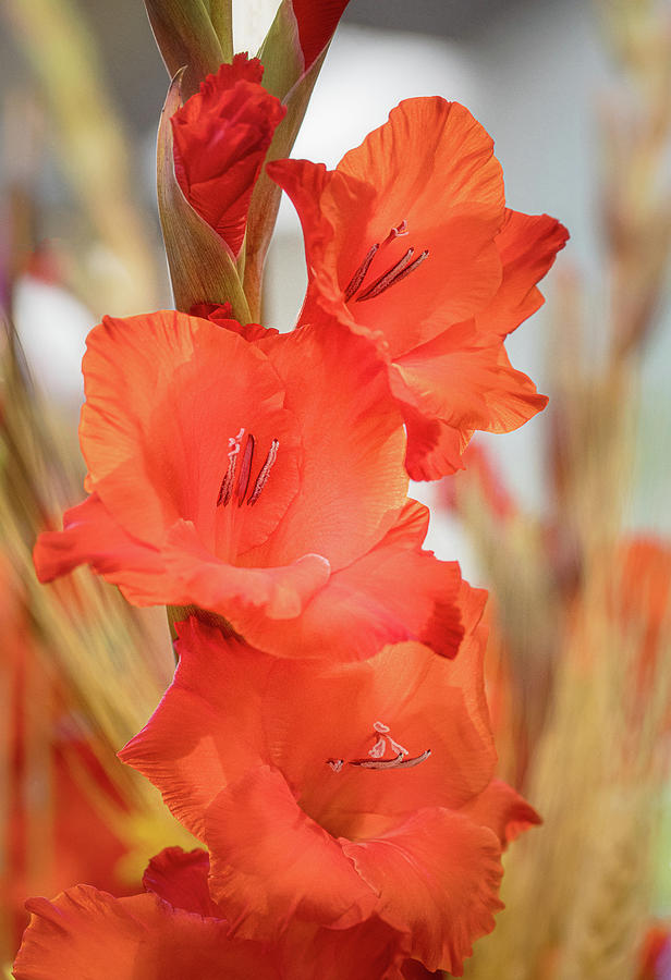 Glorious Gladiolas by TL Wilson Photography by Teresa Wilson
