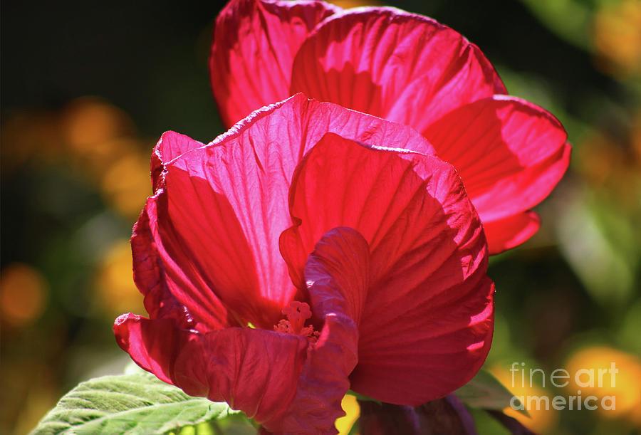 Hibiscus Photograph - Glory In A Garden by Karen Adams