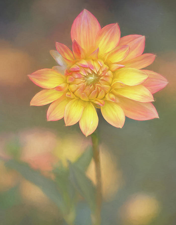 Glory in the Morning Candlelight Dahlia by TL Wilson Photography by Teresa Wilson