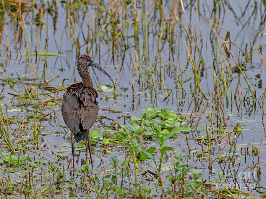 Glossy Ibis by Blair Howell