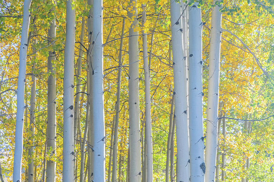 Glowing Aspens by Jim and Lynne Weber