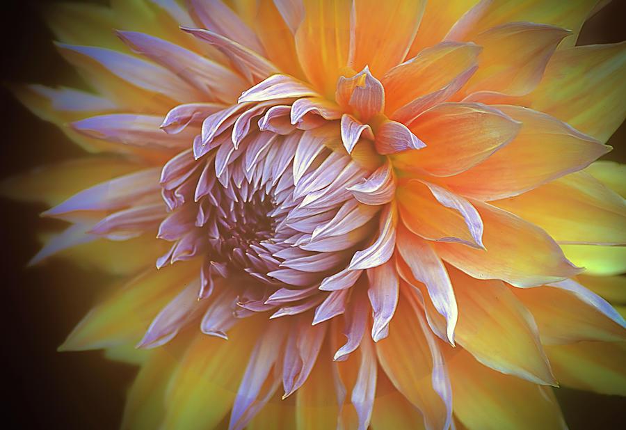 Glowing Dahlia by Julie Palencia