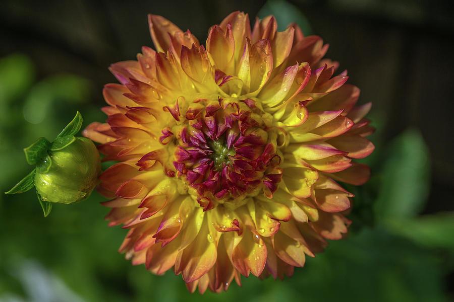 Glowing Dahlia by Linda Howes