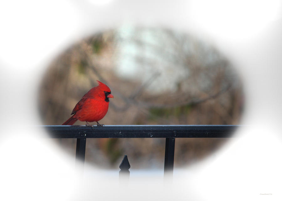 Glowing Male Cardinal by Diane Lindon Coy