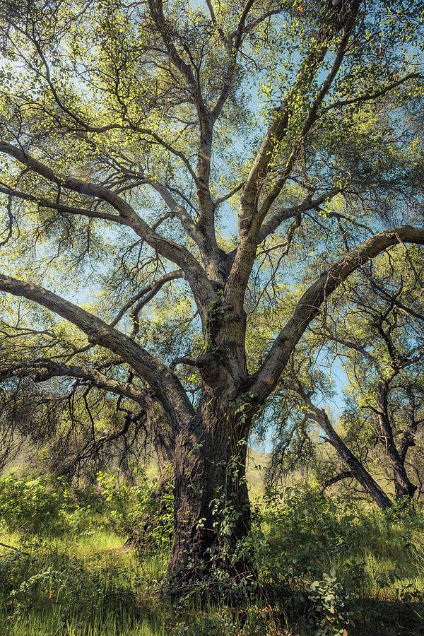 Glowing Oak by Alexander Kunz