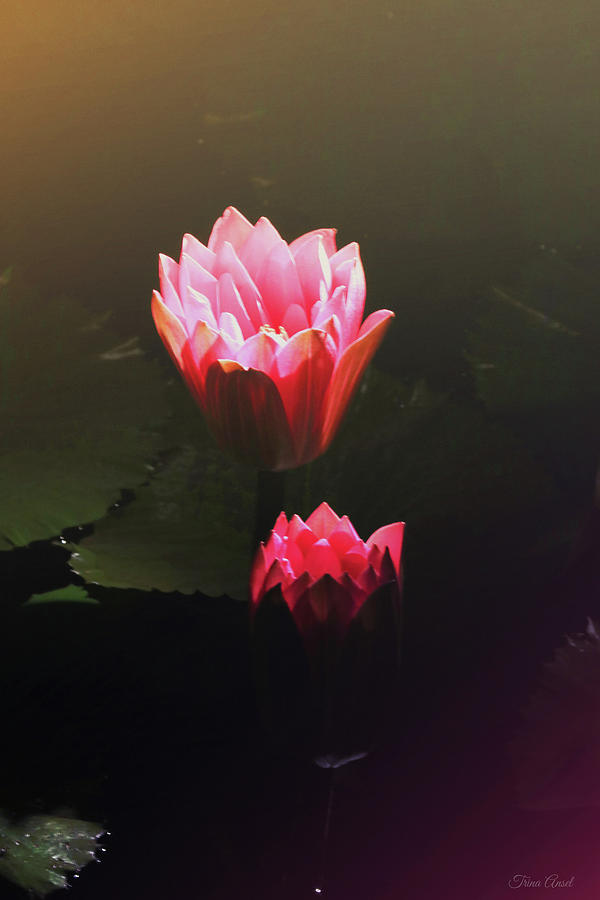 Glowing Pink Water Lilies by Trina Ansel