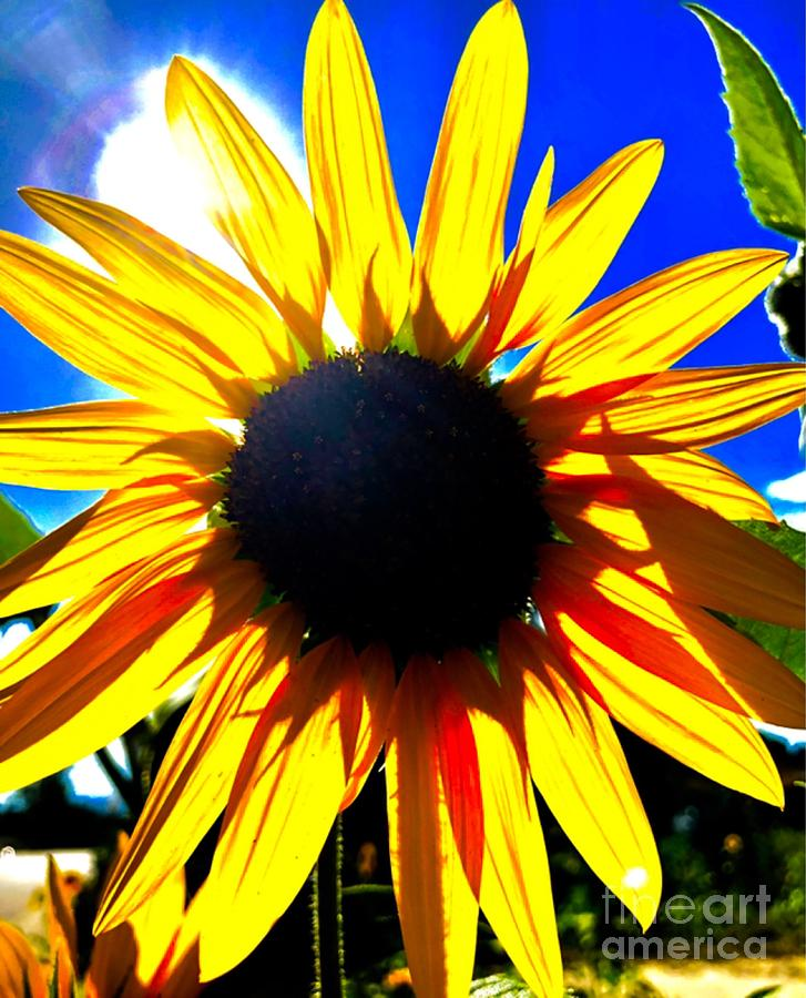 Glowing Sunflower by Jim DeLillo