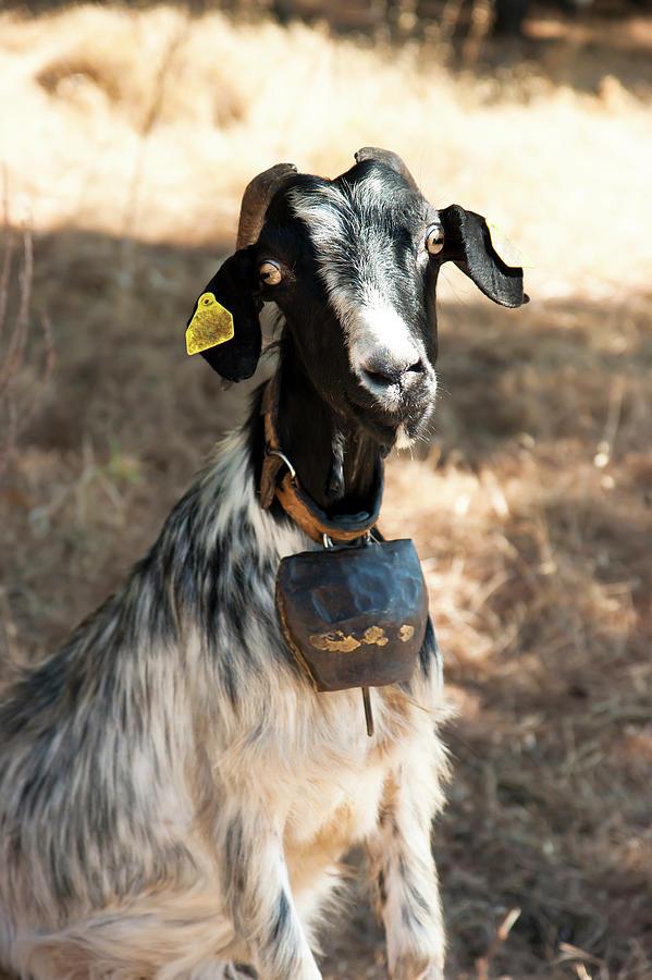 Goat by Anna Kluba