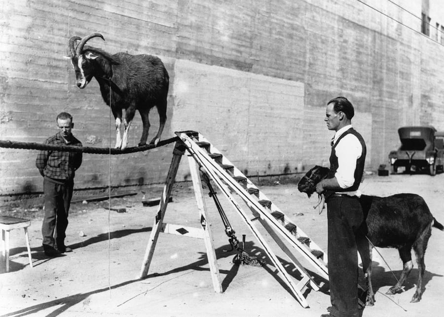 Goat On A Rope Photograph by Hulton Collection