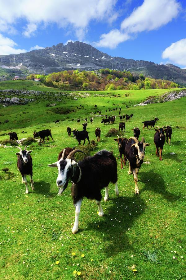 Goats by Mikel Martinez de Osaba