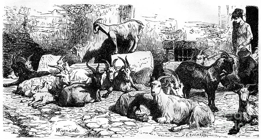 Goats Of The Roman Countryside, Italy Drawing by Print Collector
