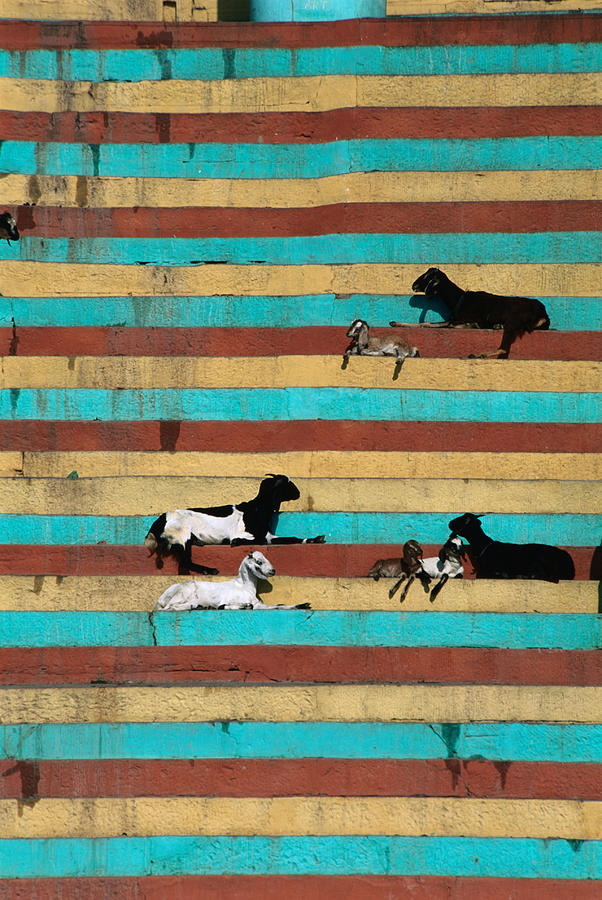 Goats Resting On The Tulsi Ghats Photograph by Anders Blomqvist