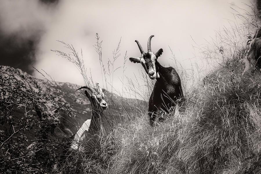 Goats by Roberto Pagani