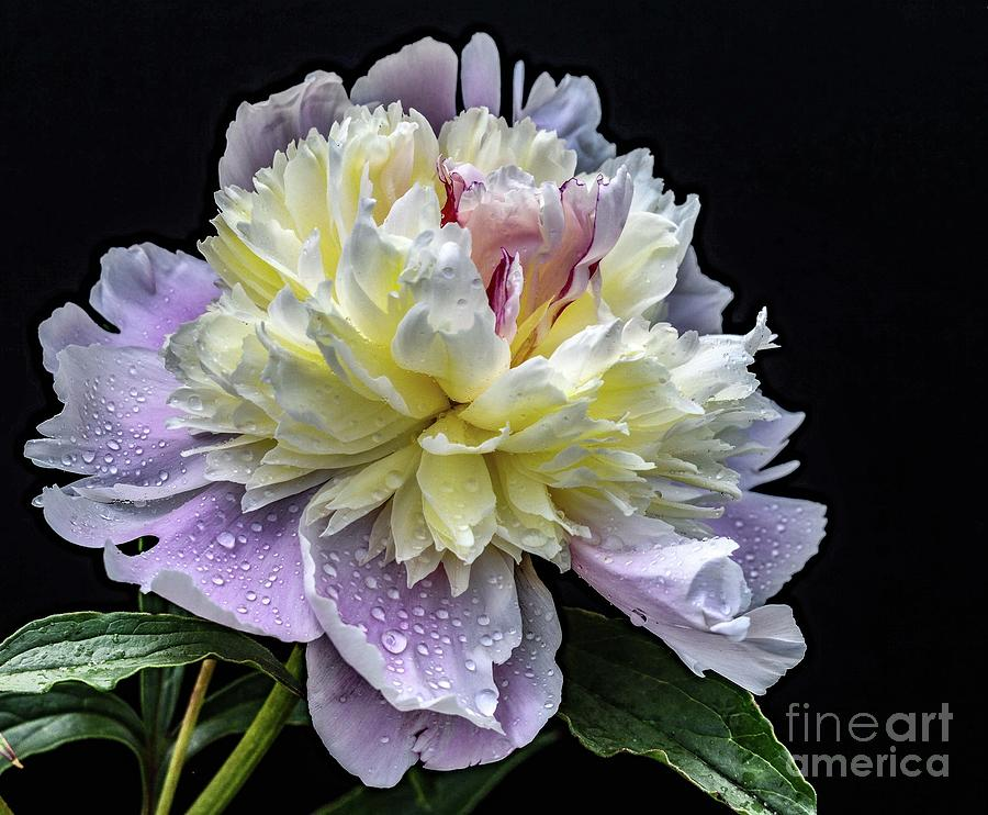 Artwork Photograph - Gods Perfection In A Festiva Maxima Peony by Cindy Treger