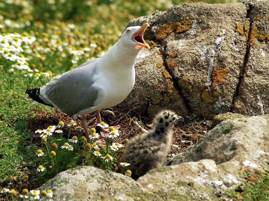 Birds Photograph - Goeland  Et Son Petit by Christine AVIGNON