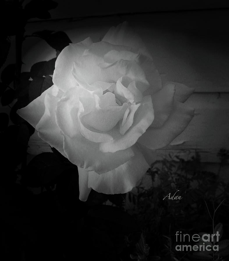 Gold Light in White Rose BW by Felipe Adan Lerma